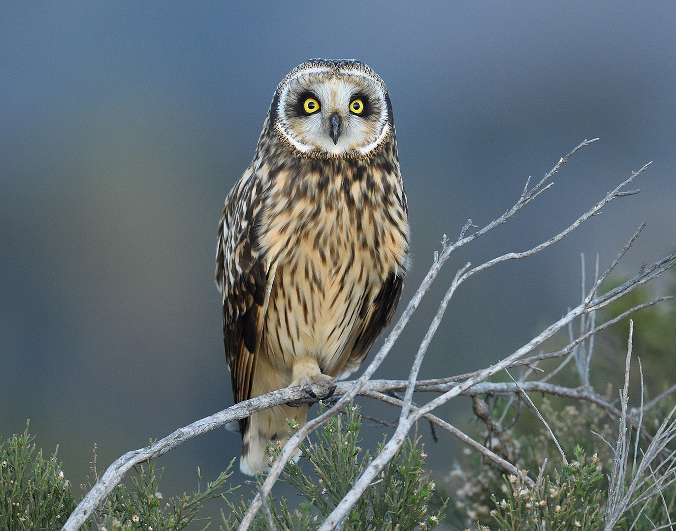 Short-eared Owl At Dusk By Debbie Beals