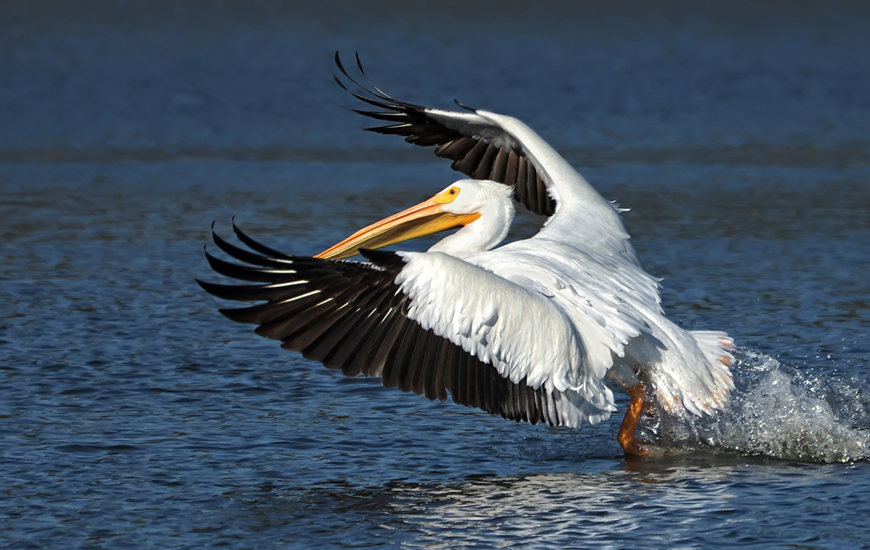 American White Pelican Lifting Off By Mark Whitbeck