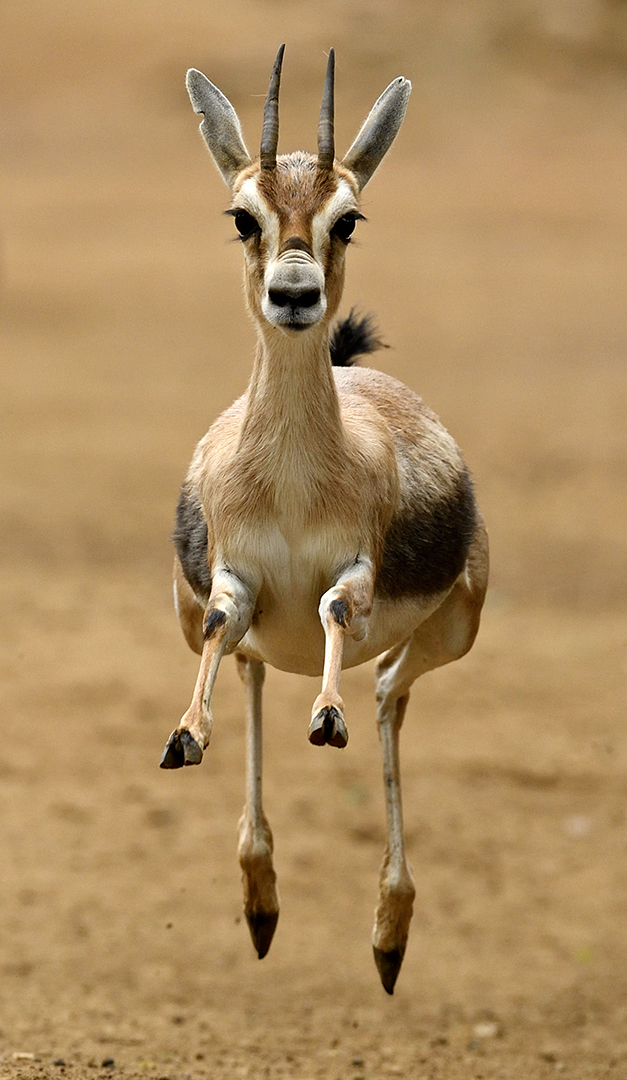 Gazelle On The Run By Debbie Beals