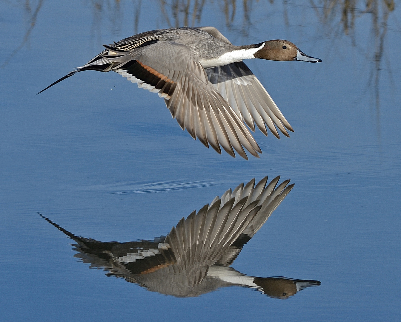 Pintail Reflecting by Mike Wilson