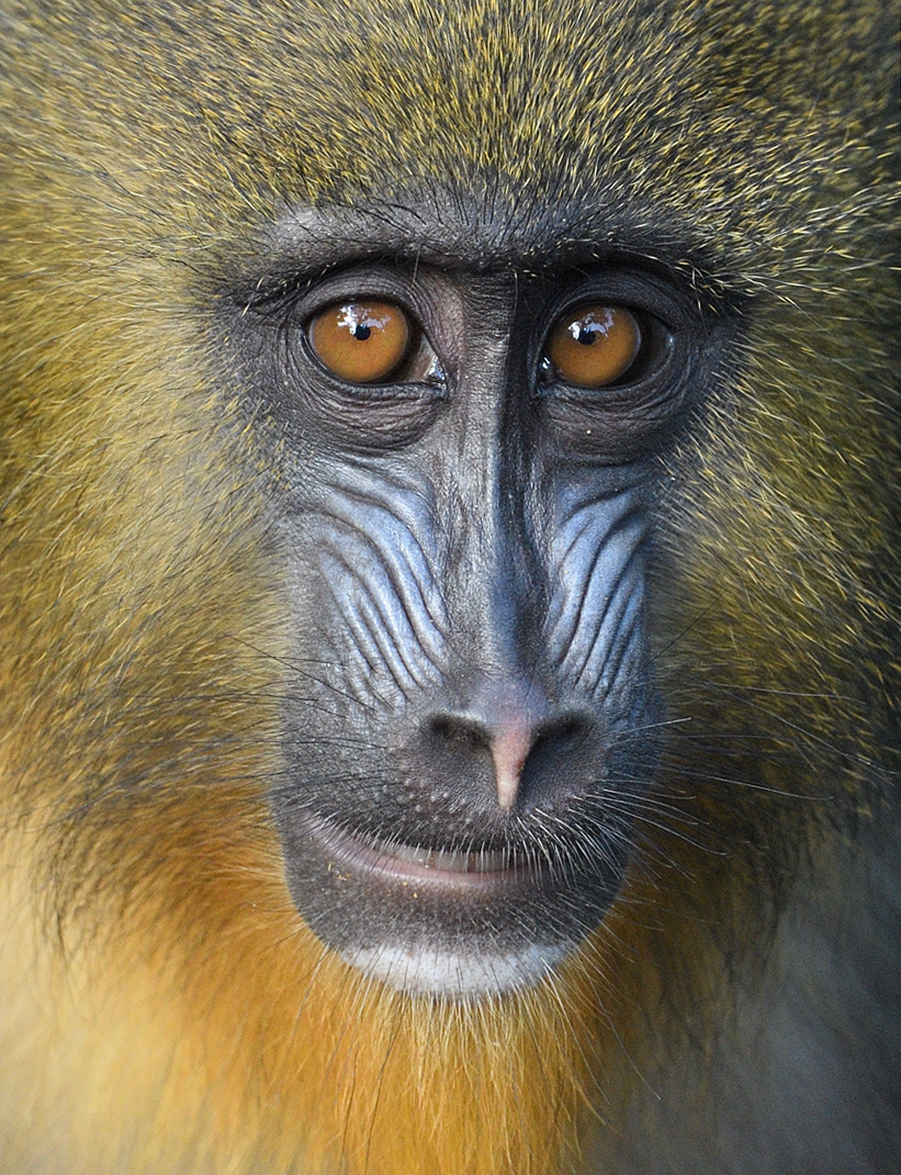 Eyes Of The Mandrill By Debbie Beals