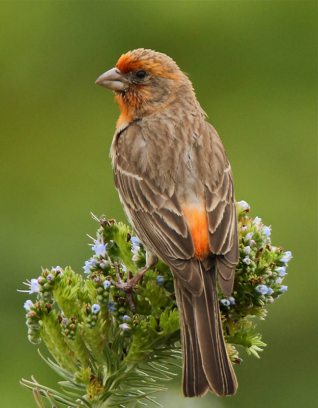Finch on Evergreen by Dennis Morrison