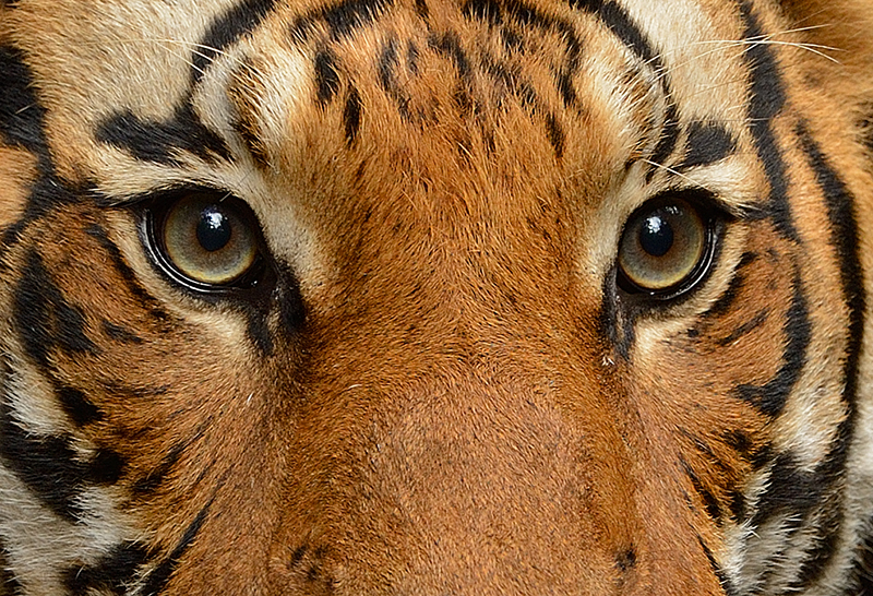 Eyes Of The Tiger By Mike Wilson