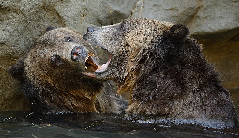 Grizzly Bear Fun By Debbie Beals