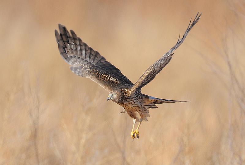 Harrier By Debbie Beals