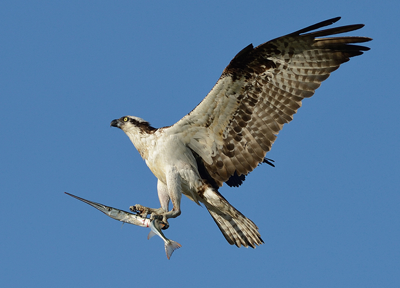 Osprey With Needlefish By Mike Wilson