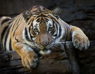 Malayan Tiger by Richard Strobel