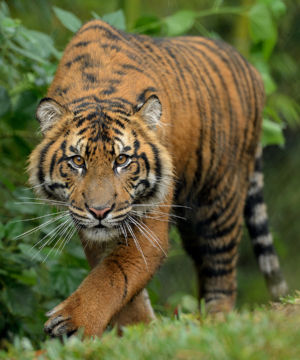 Young Tiger Stalking By Mike Wilson