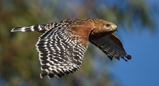 Red-shouldered Hawk By Debbie Beals