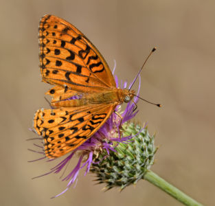 Fritillary On Wild Thistle By Mark Whitbeck