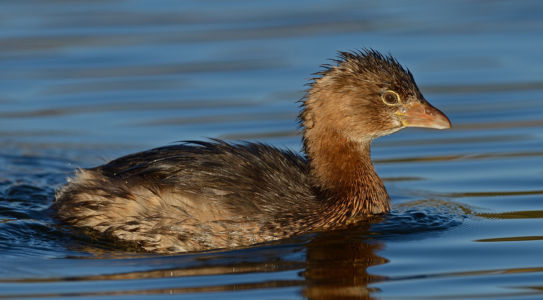 Pied-billed Grebe by Mike Wilson