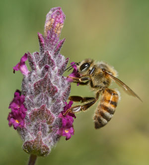 Lavender And Bee By Mike Wilson