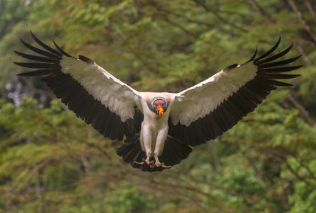 King Vulture-A Roadkill's Perspective Neil Soloman