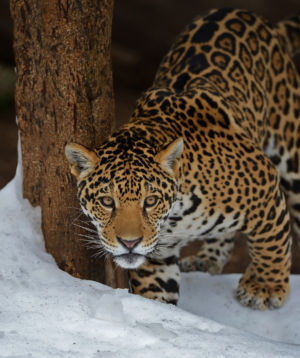 Jaguar Enters A New World by Mark Whitbeck
