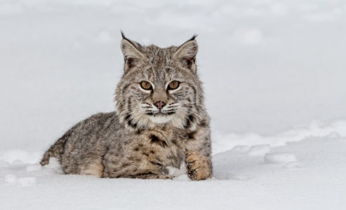Bobcat In Winter Montana by Heidi Gauthreaux