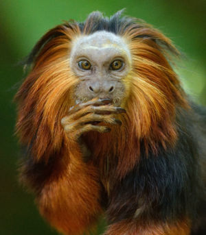 Golden-Headed Lion Tamarin By Mike Wilson