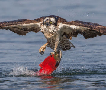 Osprey With Big Red by Neil Soloman