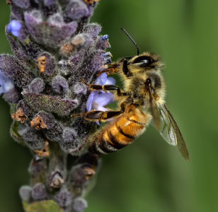 Young Worker Bee On Lavender by Mark Whitbeck