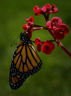 New Monarch Waiting for Wings to Dry by Lin Craft