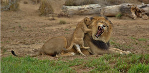 Lion Cub Biting Dads Ear By Mike Mercado