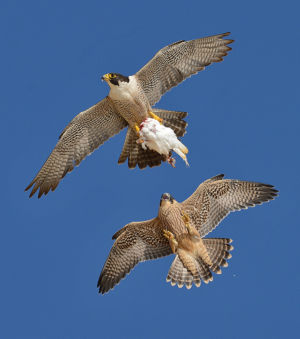 Peregrine Falcon Sneak Attack by Mike Wilson