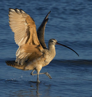 Graceful Curlew by Zan Just