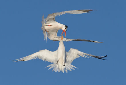 Terns in Love by Mike Wilson