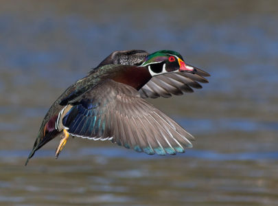 Woody in Flight by Neil Solomon