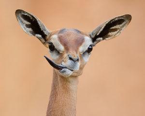 Gerenuk Feeling Sassy By Debbie Beals