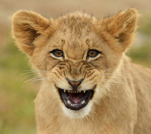 Lion Cub Snarling By Debbie Beals