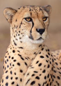 The Elegant Cheetah By Mike Wilson